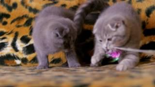 Шотландские котята(фолд)