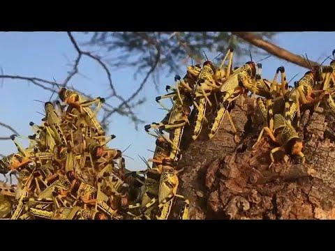 شاهد: إبادة جماعية تنتظر أسراب ضخمة من الجراد غزت شمال غرب كينيا…  - نشر قبل 4 ساعة
