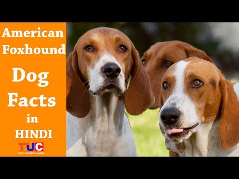 American Foxhound Dog Facts In Hindi : Dog Facts : TUC