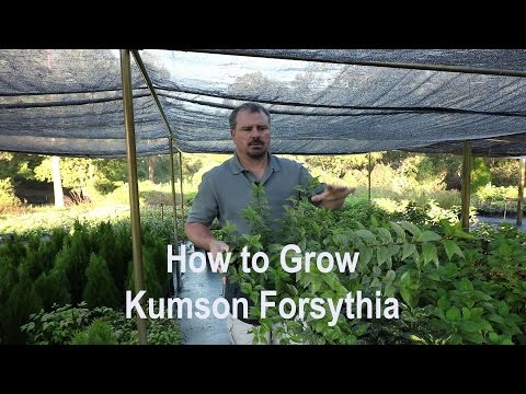 How to grow Kumson Forsythia (Variegated) with detailed description