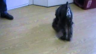 Taser Blind Schnauzer Looking For A Home 3