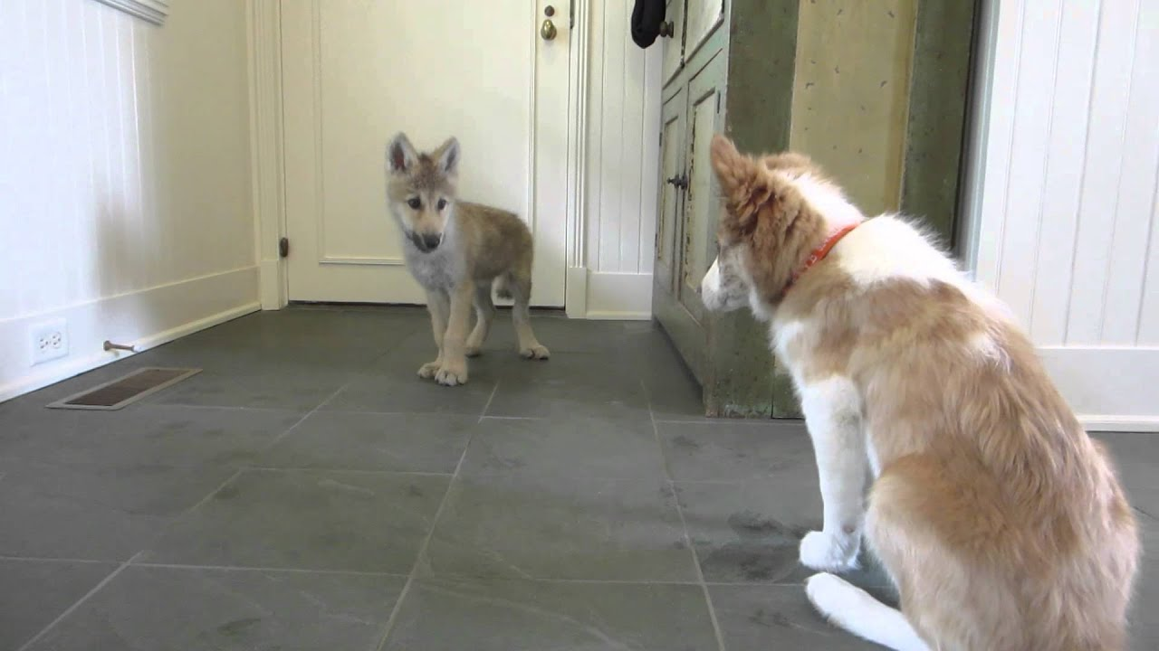 Baby Wolf Meets Border Collie Pup The Telltale Tail Youtube