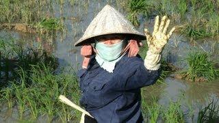 Rice field growing in Vietnam / Reisfelder Reisanbau in Vietnam (Nha Trang)