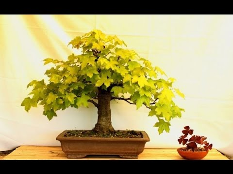 Deciduous Bonsai Liquidambar Bonsai Youtube