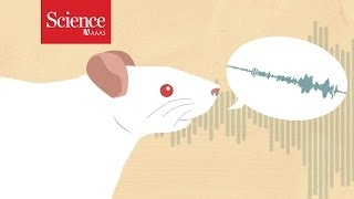 Ticklish rats help pinpoint 'tickle center' in the brain