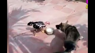 Duck and  Rooster violence funny animals 2018