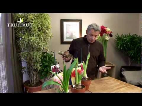Comment faire fleurir un bulbe d 39 amaryllis jardinerie - Comment faire refleurir un amaryllis ...