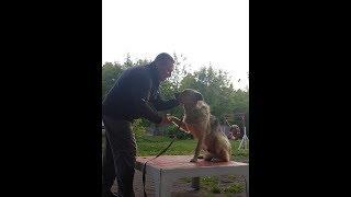 Дрессировка собаки, получившей травму от человека