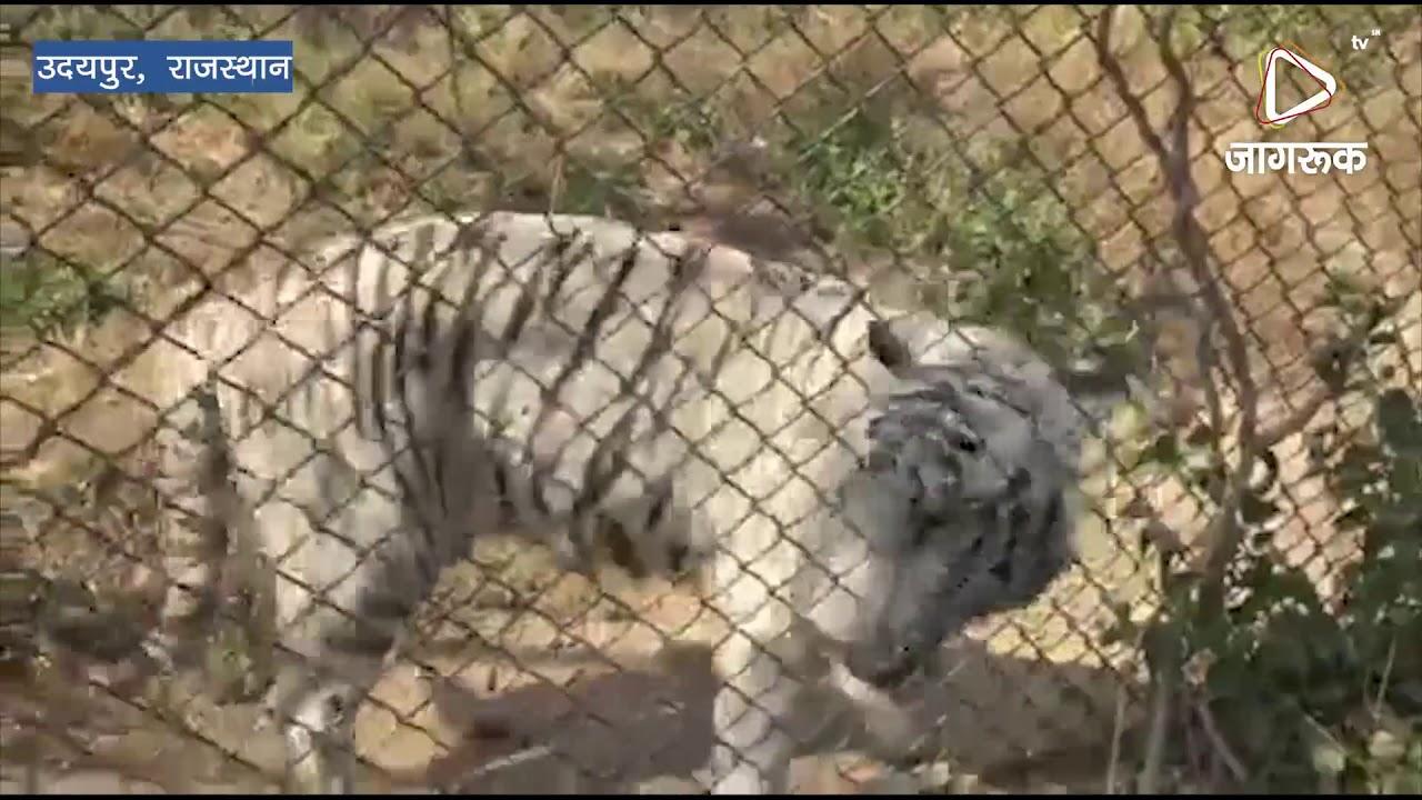 उदयपुर : सफेद बाघ रामा ने तोड़ा दम