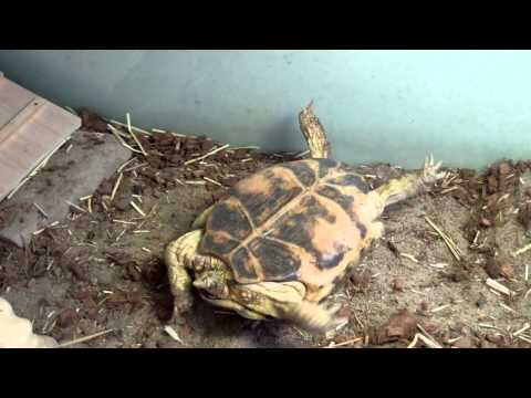 What to do when your tortoise falls on its back