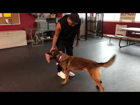 Malinois Training With Bite Pillow - ONLY Push.