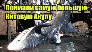 видео Китовые акулы в Мексике » Люди, звери, рыбы
