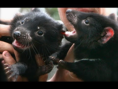 Baby Tasmanian Devils Enjoy Playtime, Internet Falls In Love (VIDEO)