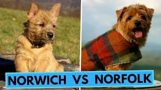Norfolk Terrier vs Norwich Terrier  Differences