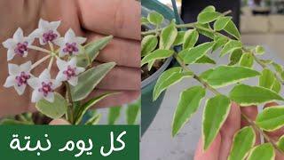 كل يوم نبتة الحلقة 1 - نبات الشمعة - هويا بيلا - One plant a day ep1- Hoya Bella Variegata