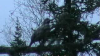 """""""Охота"""" на Рябчика. Hunting in Russia"""