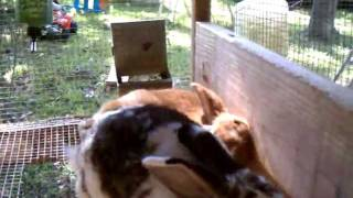 Rabbits Mating.First time big red had a girlfriend