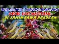 Suara Pikat Burung Pijantung Paling Jitu  Mp3 - Mp4 Download
