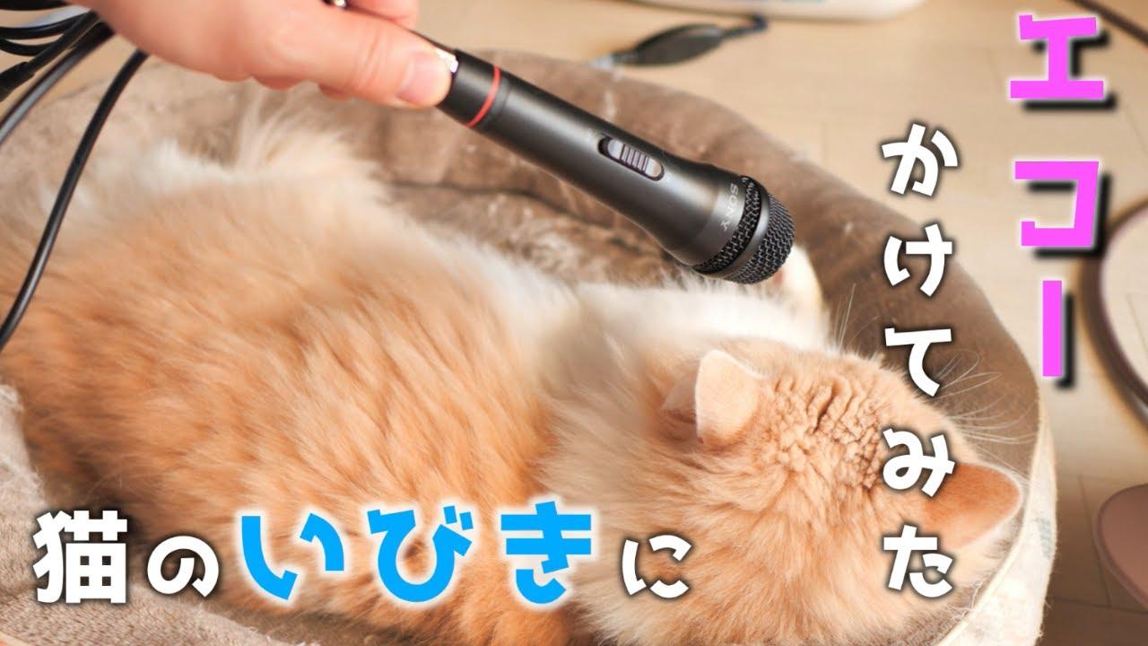 エコー 猫のいびき 「涙が出るほど笑った」「1人の時に見てはいけない」 猫ちゃんのイビキにエコーマイクを向けた動画が危険なほどの面白さ