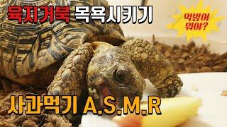 17살 육지거북 목욕 & 사과 ASMR