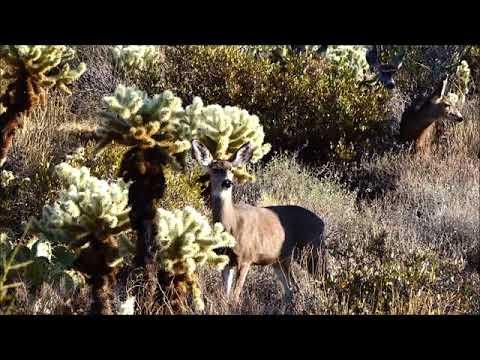 Arizona Mule Deer February 21 2018