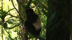 Bedrohte Lemuren: Halbaffen auf Madagaskar vor der Ausrottung