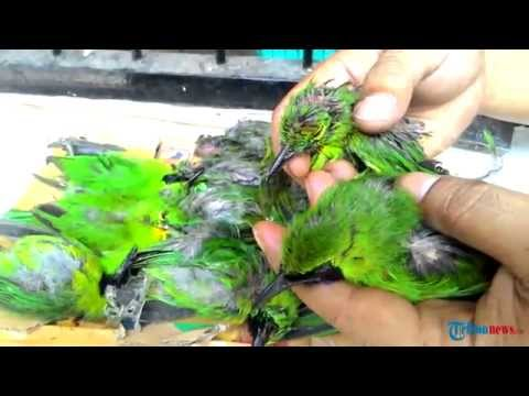 200 Ekor Burung Cucak Hijau Ini Berusaha Diselundupkan
