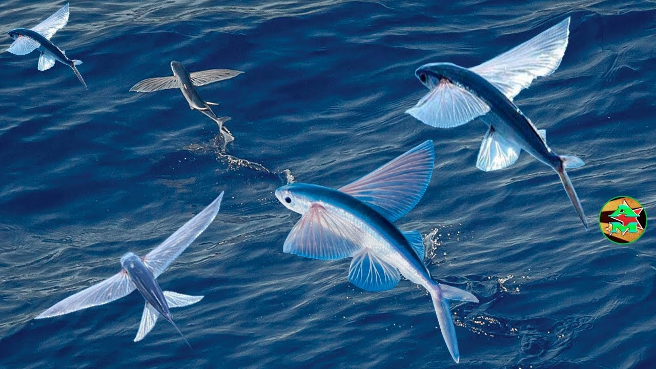 PECES VOLADORES EN SU HABITAT - Pez Volador - flying fish in your home -  YouTube