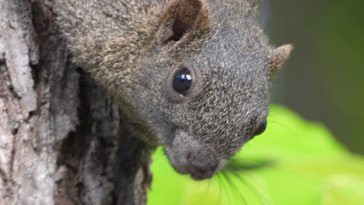 Nikon coolpix p1000 susper zoom squirrel 4K