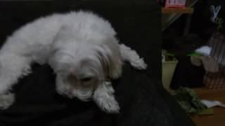 これは僕の愛犬もんたの動画です。トイプードルとマルチーズのミックス...