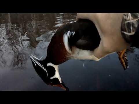 South Carolina Duck Hunting Species List