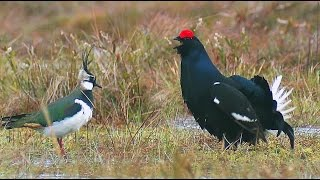 Тетерев, чибис, ястреб. Только самцы. Black grouse, Northern lapwing and Eurasian sparrowhawk