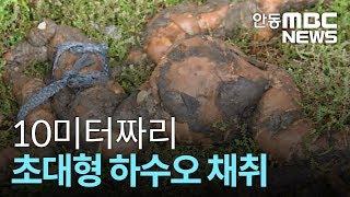 [안동MBC뉴스]10미터 초대형 하수오 채취