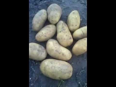 Картофель Гренада