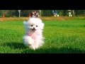 犬においでと言ったら必ず来てもらうしつけ方法 の動画、YouTube動画。