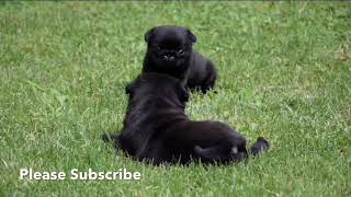 My Black Pugs At Home