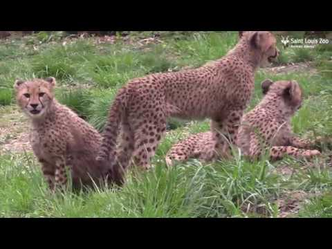 Saint Louis Zoo cheetah cubs explore their public habitat