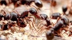 Pavement Ants (Tetramorium) | AntsCanada Tutorial