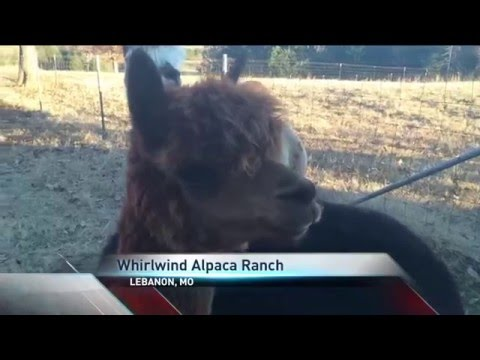 Local Agribusiness is All About All Things Alpaca