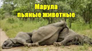 Марула пьяные животные