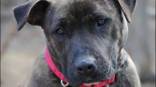 Zita The Fantastic Staffordshire Terrier Mix Rescue Ridge, Mar. 21, 2013