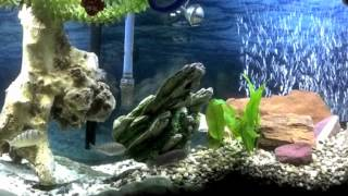 Tank Update: Freshwater 55g Mixed African Cichlid Aquarium Week 162