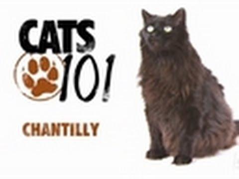 Chantilly   Cats 101