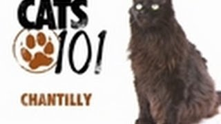 Chantilly | Cats 101