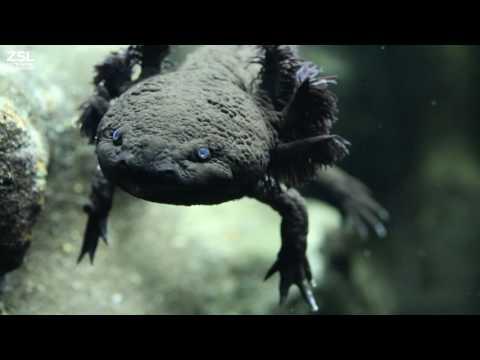 Introducing the Axolotl