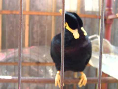 chim nhồng tập nói