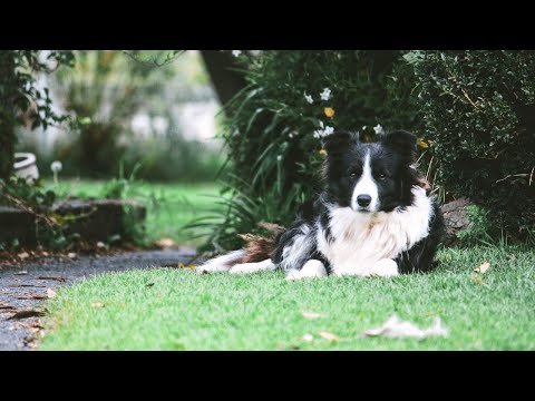 Funniest Border Collie Videos  Funny Dogs Compilation | BARKS AND WOOFS | (42)
