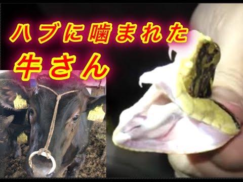 ハブに噛まれた牛さんの顔がヤバい。。。