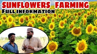 sunflower farming in Pakistan 2019 / why sunflowers farming has been started once again