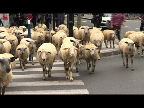 Mais que font ces moutons en ville ? - YouTube